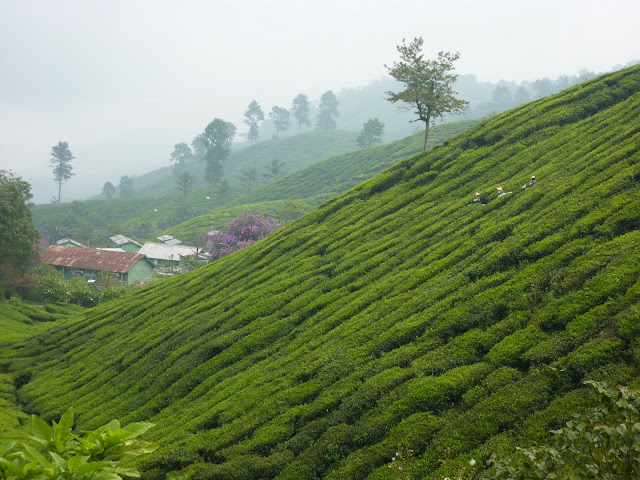 Blog de voyage-en-famille : Voyages en famille, Cameron Highlands, au pays du thé