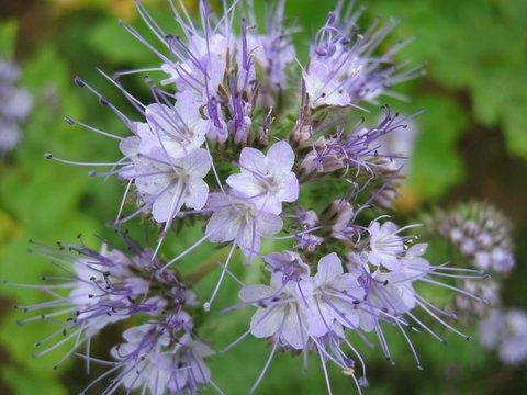 08 lilaflower2