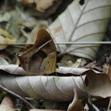 Antirrhea philoctetes (LINNAEUS, 1758). Bagne des Annamites, 19 novembre 2012. Photo : J.-M. Gayman