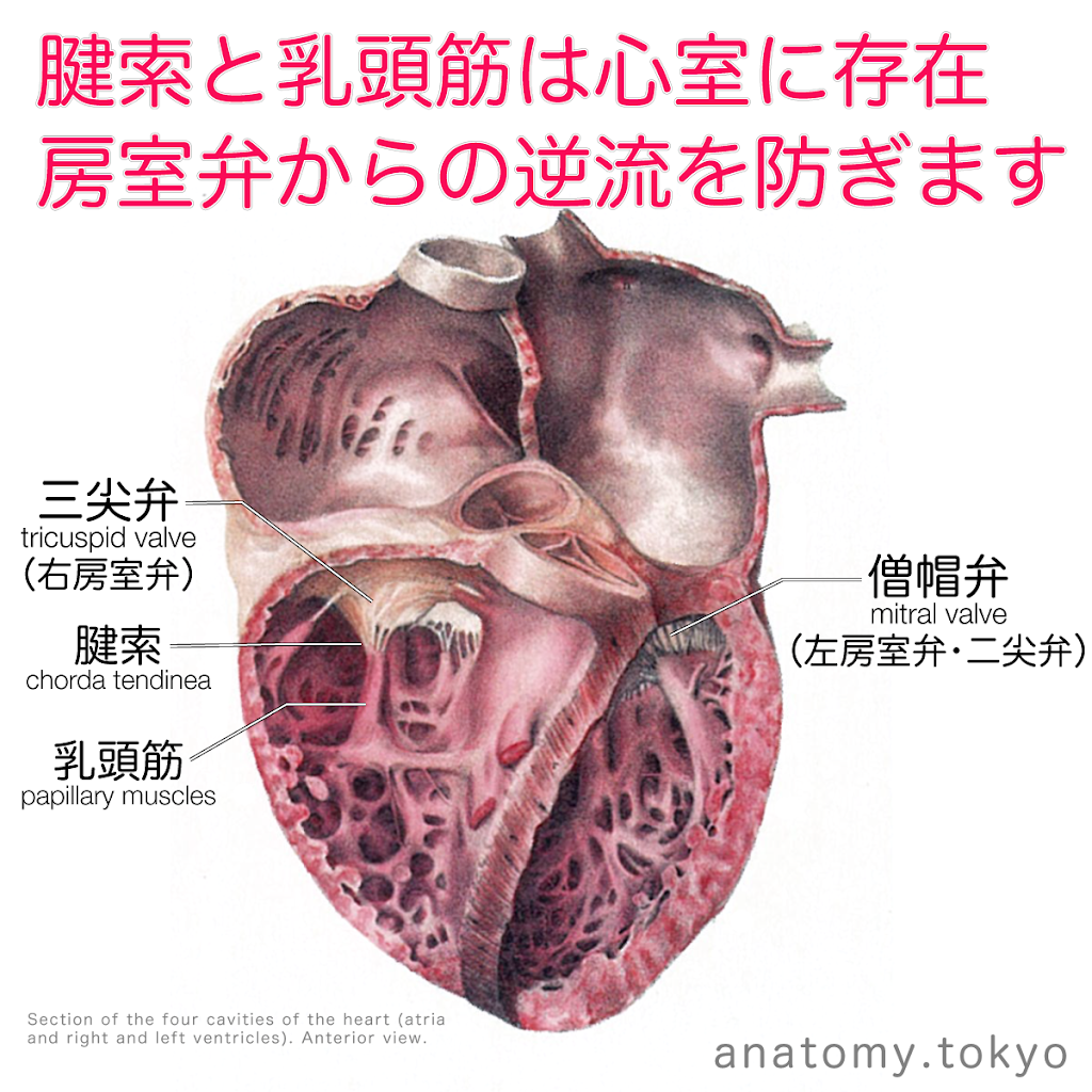 t222-14-腱索と乳頭筋は心室に存在.png