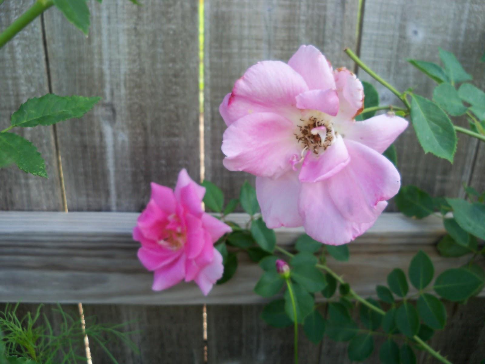 Gardening 2010, Part Two - 101_2636.JPG