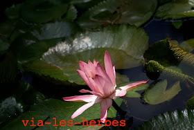 fleur de lotus?.jpg