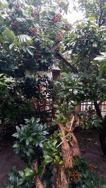 Hujan, Lindungi Tanaman Buah  dengan Fungisida