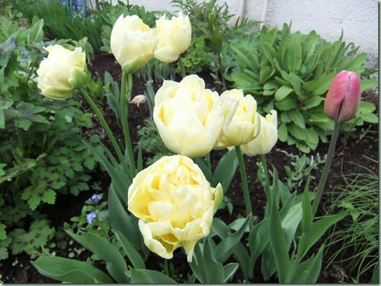 Tulipa ukjent_.