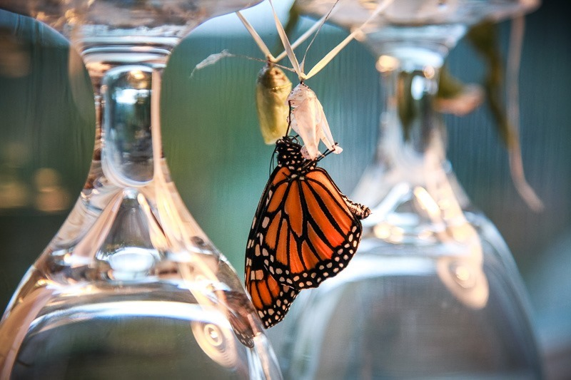 monarch butterfly life cycle-3