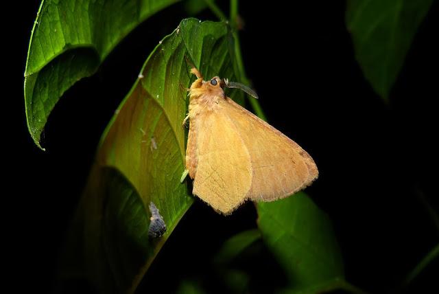 Geometridae : Ennominae : Chiasmia sp. (?). Bobiri Forest (Ghana), 1er décembre 2013. Photo : J.-F. Christensen