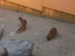 2008.07.01-006 mangoustes