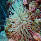 Giant Caribbean Sea Anemone