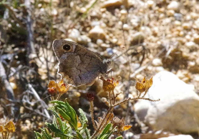 Neohipparchia statilinus (Hufnagel, 1766), mâle. Bages (Pyrénées orientales), 17 août 2014. Photo : J.-M. Gayman