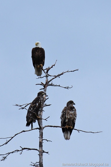 [eagle16%5B7%5D]