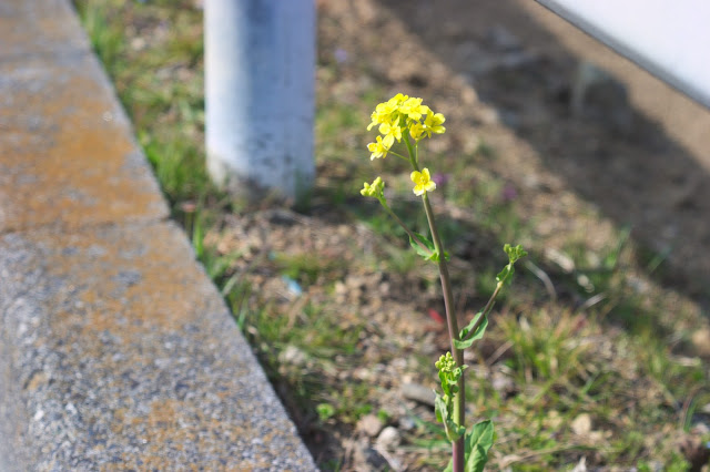 道端の菜の花