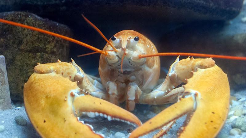 lagosta1