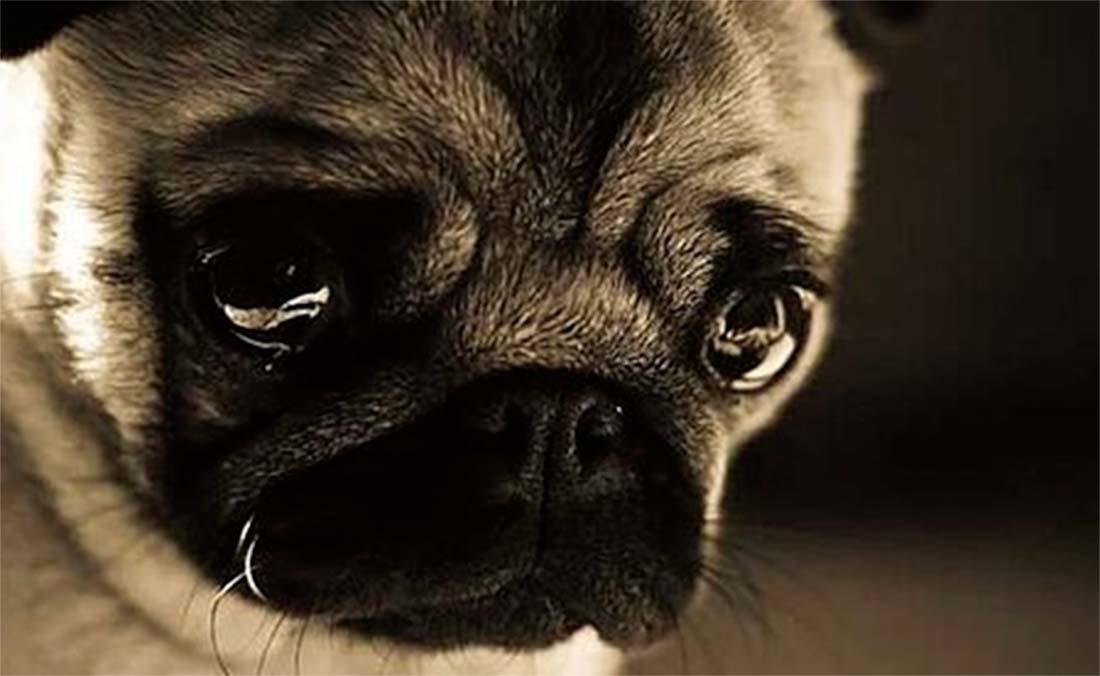 ¿Los perros pueden llorar?