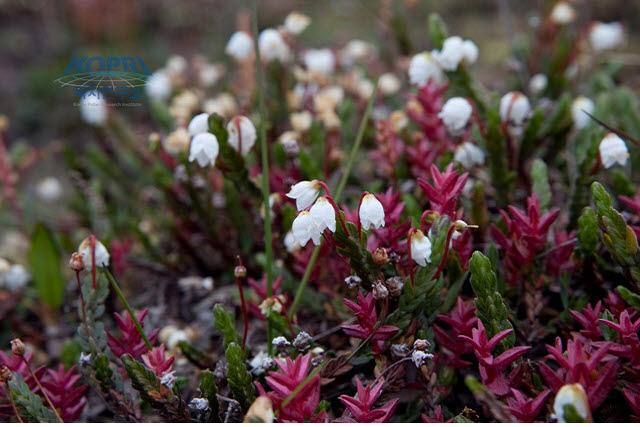 북극종꽃나무