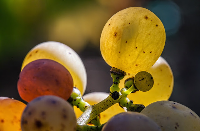 2014 vendange du chenin liquoreux, premier tri. - 2014-10-18%2BGuimbelot%2Bvendanges%2Bdu%2Bchenin-135.jpg