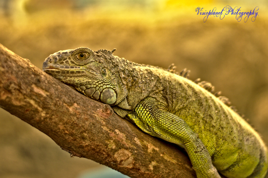 The lazy iguana by Sudipto Sarkar on Visioplanet