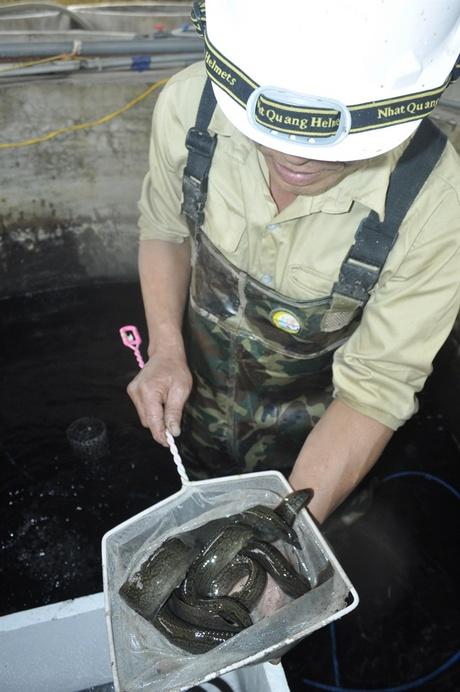 Sinh sản nhân tạo thành công cá chạch sông - 56e9055c7b4a7