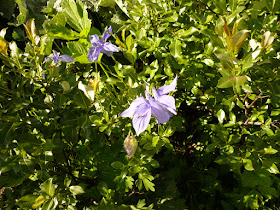 Ancolie commune, Aquilegia vulgaris Renonculacees 3.JPG