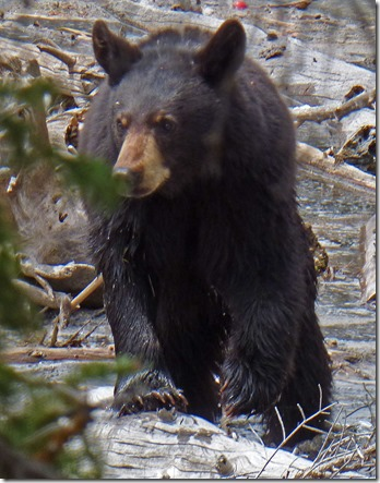 Bear at Tetons near Jenny Lake