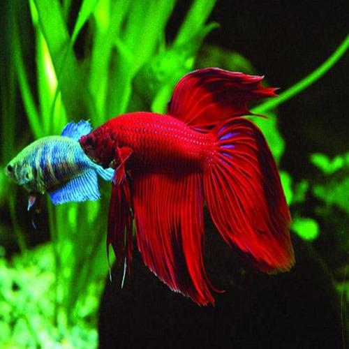 betta-fish-10-gallon-fish-tank-(3)