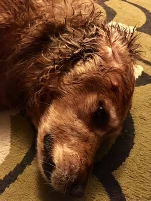 Image of a Golden Retriever after her bath
