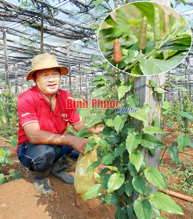 Anh Chánh khoe giống tiêu lốp trồng tháng 7-2015