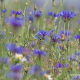 Василёк синий (Centaurea cyanus)