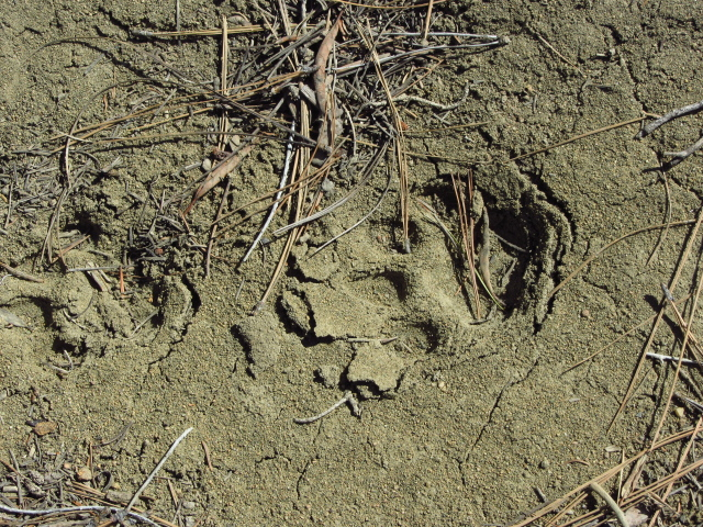 paw prints in the mud with no visible claw marks