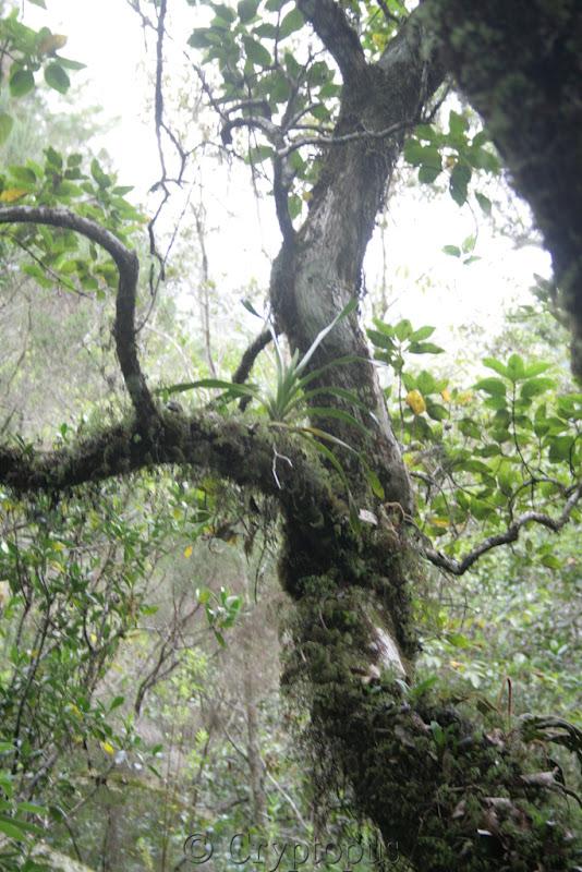Orchidées in situ, sur l'ile de la Réunion IMG_2212