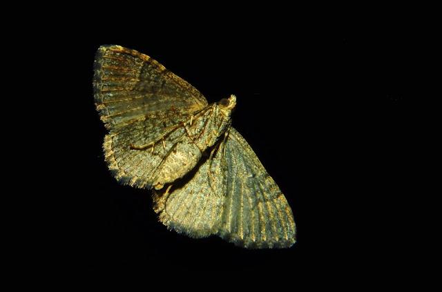 Geometridae : Larentiinae : Xanthorhoini : probablement Visiana brujata GUÉNÉE, 1857, verso. Umina Beach (NSW, Australie), 25 avril 2011. Photo : Barbara Kedzierski