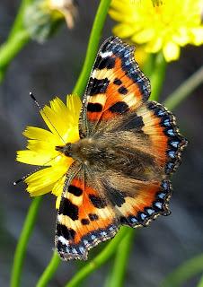 Small Tortoiseshell butterfly, Offa's Dyke Path, Denbighshire