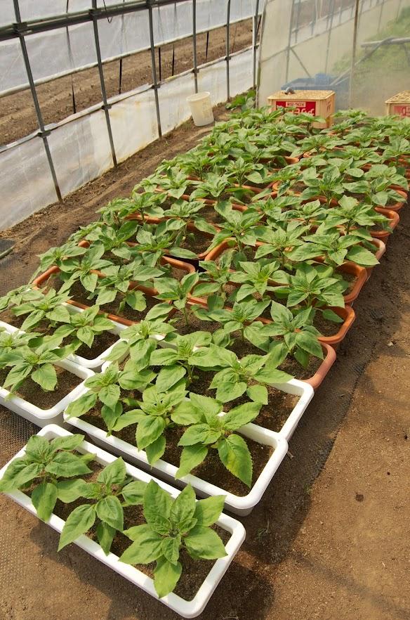 種植時期をずらして栽培