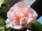 明桃色 八重〜ボタン咲き 中輪