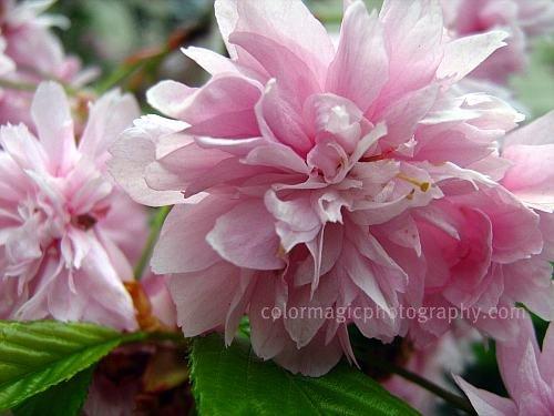 Japanese cherry blossom-macro