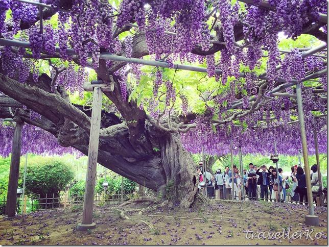 在最美的季節遇見足利紫籐花卉公園:門票交通攻略實況(下)16