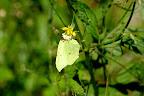Citronsommerfugl. Gonepteryx rhamni
