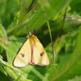 Arctiidae : Arctiinae : Diacrisia sannio LINNAEUS, 1758. Les Hautes-Lisières (Rouvres, 28), 24 mai 2012. Photo : J.-M. Gayman