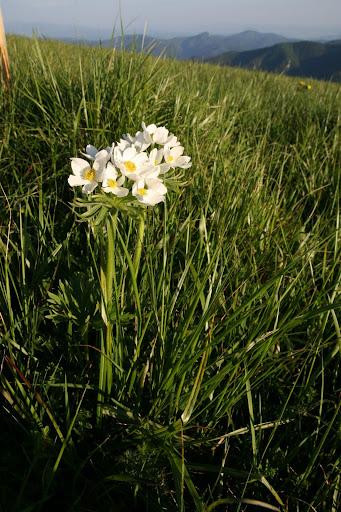 Veternica narcisokvetá na Ploskej