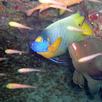 Blue-faced angelfish & redmouth grouper