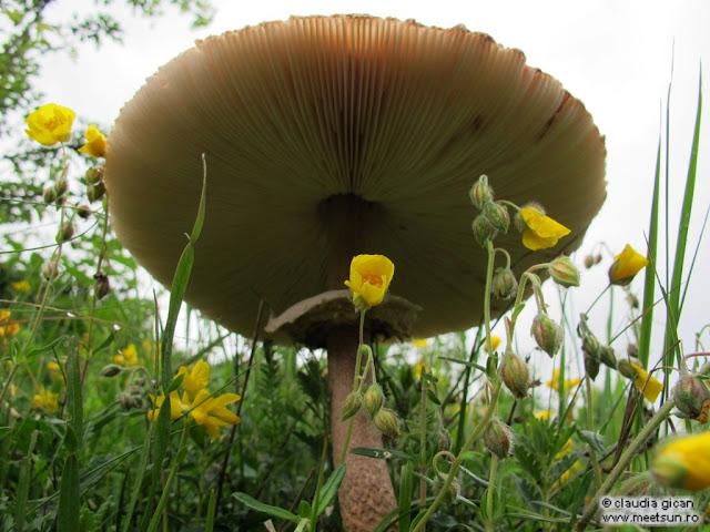 ciuperci dupa ploaie