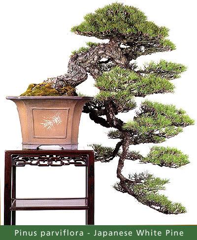 https://lh3.googleusercontent.com/-WbmVqfXf3v0/TsILg25terI/AAAAAAAAC5o/lmP9CxBPvhU/s487/spvl_bonsai-Pinus.jpg