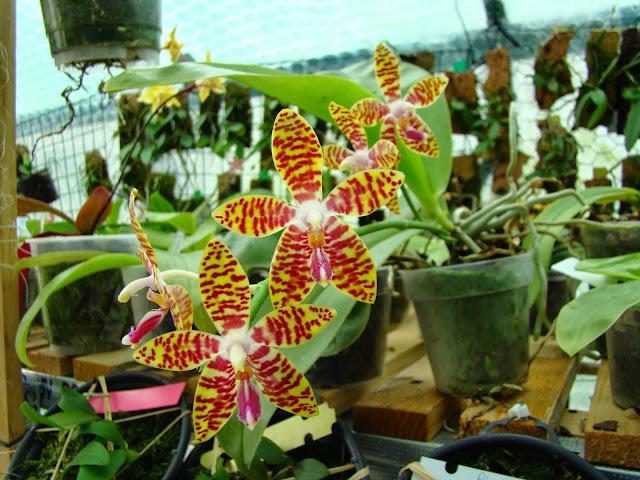 Phalaenopsis Ambomanniana (amboinensis x lueddemanniana) DSC01903
