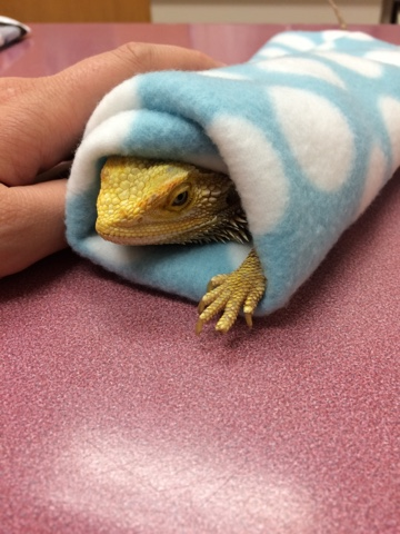 how to become a bearded dragon rescue canada