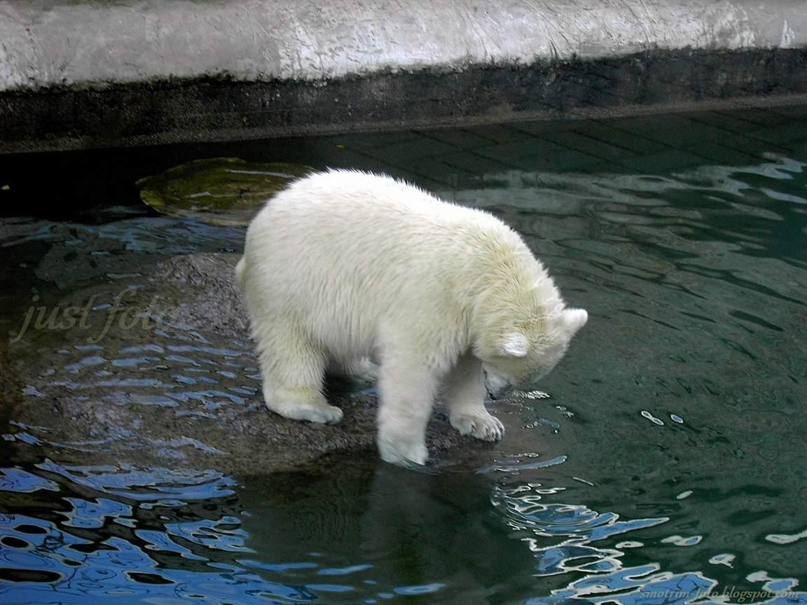 Зоопарк белые медведи медвежонок фото Санкт-Петербург