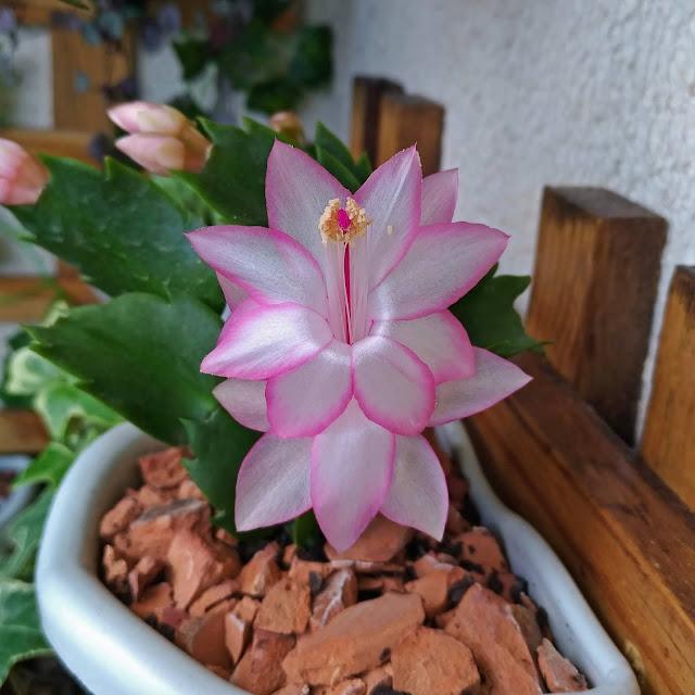 Schlumbergera truncata - Flor de Maio ou Flor de Seda.