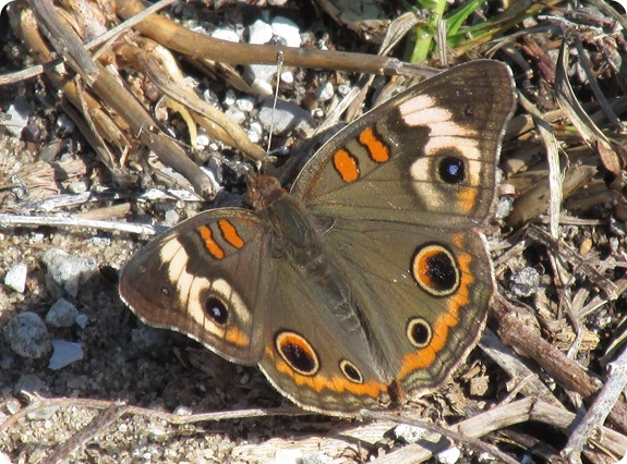 3 Withlacoochee Trail - Common Buckeye Junonia coenia Butterfly (1)