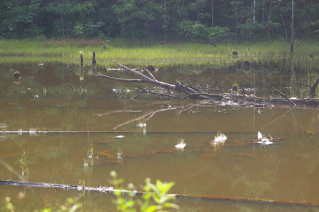 Marais près de l'Auberge des Orpailleurs (Guyane). 25 novembre 2011. Photo : J.-M. Gayman