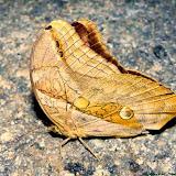 Eryphanis lycomedon (C. & R. FELDER, 1862). Pitangui (MG, Brésil), 11 novembre 2013. Photo : Nicodemos Rosa