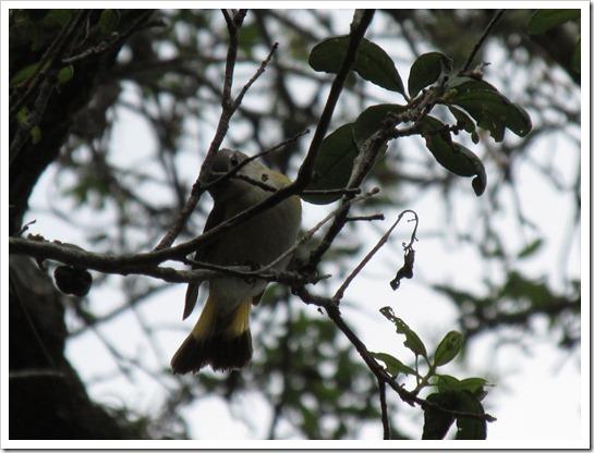 2017-05-05 Florida, Stuart - American Redstart Bird (19)