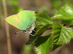 Grøn busksommerfugl2.jpg